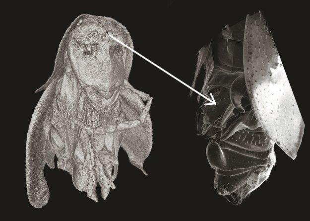 """Úkaz, ktorý vyzerá ako hlava šaša vpravo, je """"helma"""" na zachytenie samičky na chrbte samca švába."""