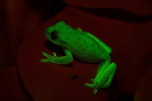 Prvá žaba, u ktorej objavili schopnosť fluorescencie.