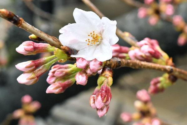 vitnúce kvety na monitorovaných stromoch čerešne v blízkosti šintoistickej svätyne Jasukuni v Tokiu.