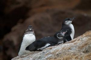 Tučniaky galapágske.
