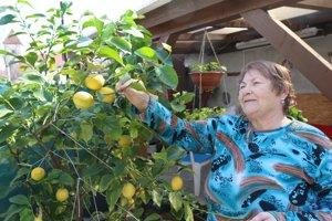 Mária Šuňalová sa teší z bohatej úrody citrónov.