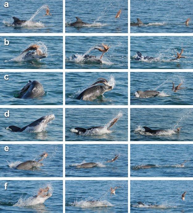 Sled obrázkov ukazuje delfína, ktorý pohadzuje chobotnicu a búcha s ňou o hladinu vody po dobu asi piatich minút.