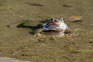 Žaba pri Vrbickom plese.