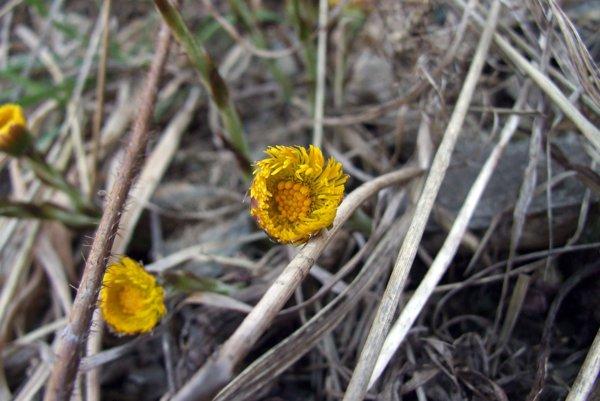 Kvety podbeľa.