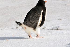 Tučniak bielotemenný pri vyprázdňovaní. Guáno, nahromadené exkrementy, ukázali, ako sopečné výbuchy takmer vyhubili tento druh tučniaka na Ardleyho ostrove.