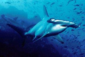 Kladivohlavý žralok Sphyrna lewini čelí nadmernému rybolovu.