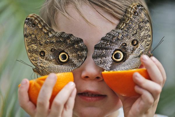 Päťročný George a motýle Caligo martia, ktoré sa kŕmia na pomaranči na výstave motýľov v Prírodopisnom múzeu v Londýne.