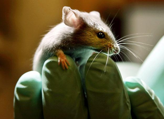 Laboratórna  myš.