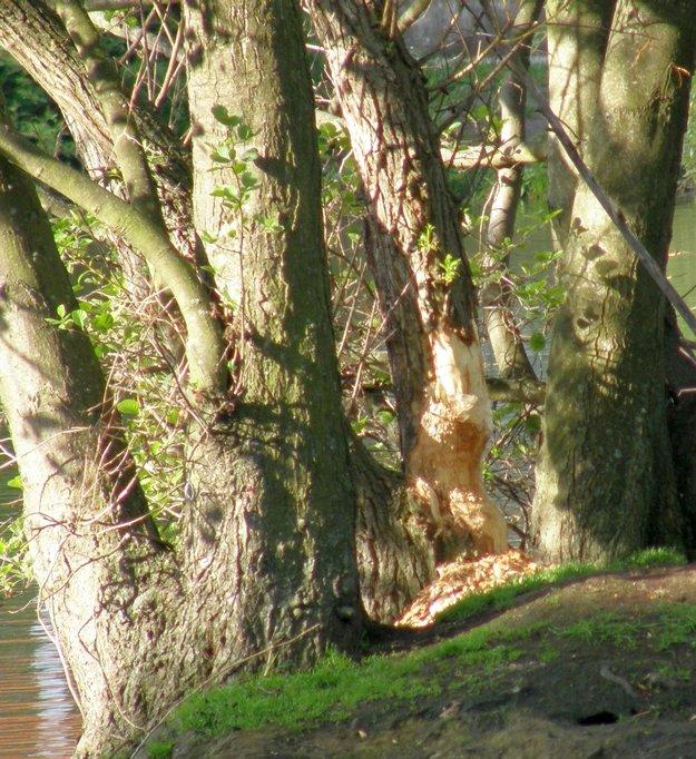 Poškodený strom na ostrove, na ktorom sa zdržiavajú okrem bobrov a kačíc aj korytnačky, pozrite si fotogalériu.