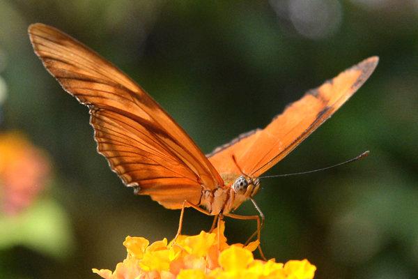 Motýľ eueides heliconius.