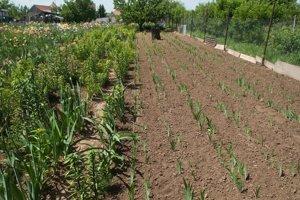 Z päťtisíc semienok vzíde možno tritisíc rastlín, z toho šľachtiteľ vyberie v prvom kole možno sto a v ďalšej sezóne ponechá len tridsať.