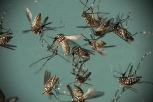 Komár Aedes aegypti, ktorý prenáša vírus zika.
