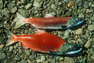 Losos nerka, rovnako ako všetky druhy lososov z Tichého oceánu, žijú dlhé roky v oceáne. Potom sa vydajú na cestu do sladkovodného prúdu, kde sa trú a nakoniec umrú.