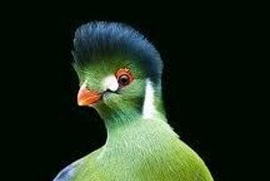 Turako v dospelosti. Farbivo jeho perí obsahuje meď.