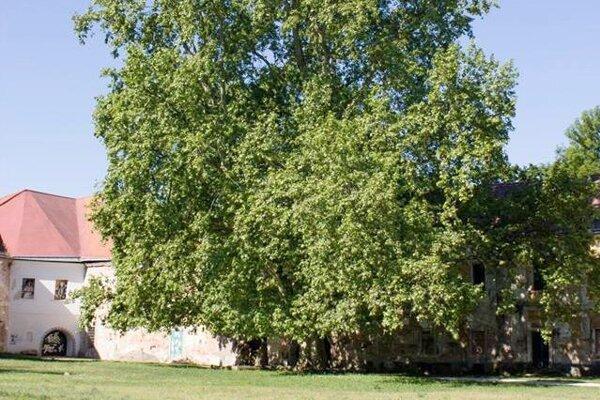 Dub letný rastie v parku v Želiezovciach už 350 rokov.
