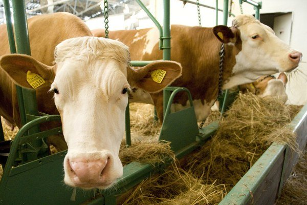 Počty hovädzieho dobytka majú aj v našom regióne klesajúcu tendenciu.
