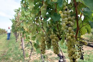 Strapce hrozna tokajská lipovina vo vinohradoch nad obcou Čerhov.