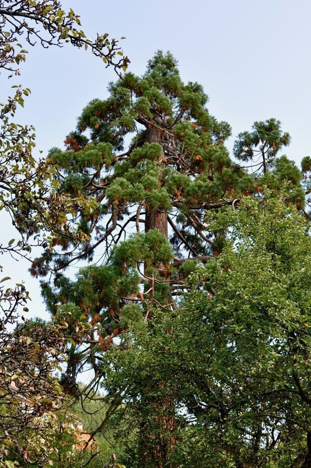 Kremnický sekvojovec mamutí je mohutný strom, dosahuje výšku 22 metrov. V porovnaní s vekom, ktorý sekvojovce dosahujú, je to však mladík.