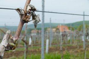 Vlaňajšie mrazy takto poškodili vinohrad. Tento rok sa zopakovali.