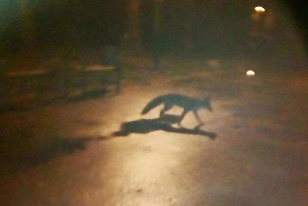 Ako vo svojej záhrade. Líška sa vôbec nezľakla, pokojne kráčala po Parku Komenského.
