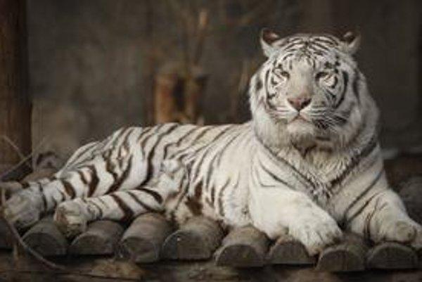 Väčšina tigrov v Číne žije v zajatí, ako aj tento v pekinskej zoo. Do ich záchrany chce investovať aj Svetová banka.