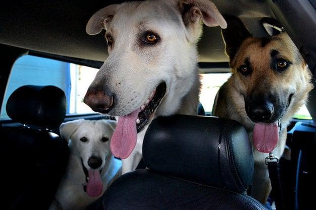 Pri preprave psa autom myslite na bezpečnosť.