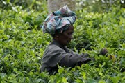 Na Srí Lanke sú tradičné čajovníkové plantáže.