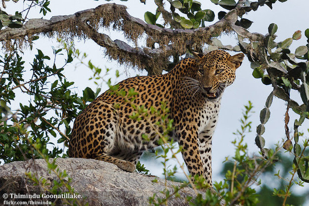 Srí Lanka má svoj endemický druh leoparda.