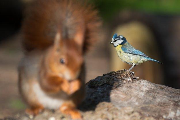 Sýkorka belasá nepohrdne ani hniezdom veveríc, keď dôjde na hľadanie vhodného príbytku.