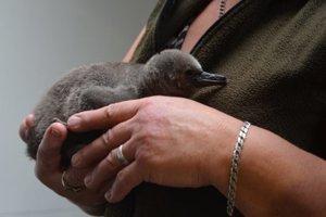 Jedno z najnovších mláďatiek. Košická zoo od roku 2008 odchovala 25 tučniačikov. Vlani až piatich.