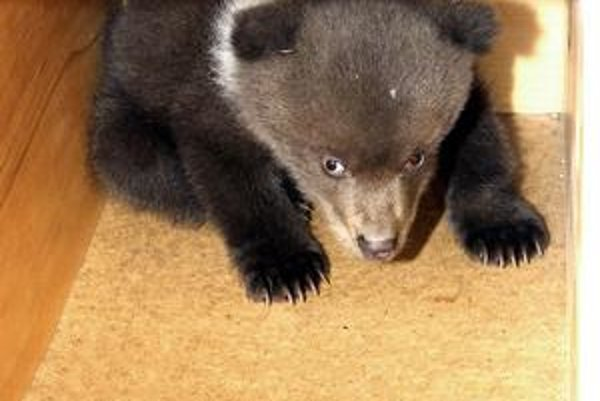 Stratené medvieďa sa pokúsia vrátiť na miesto, kde sa môže pohybovať jeho matka.