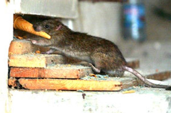Hlodavce sa najviac objavujú na sídliskách.