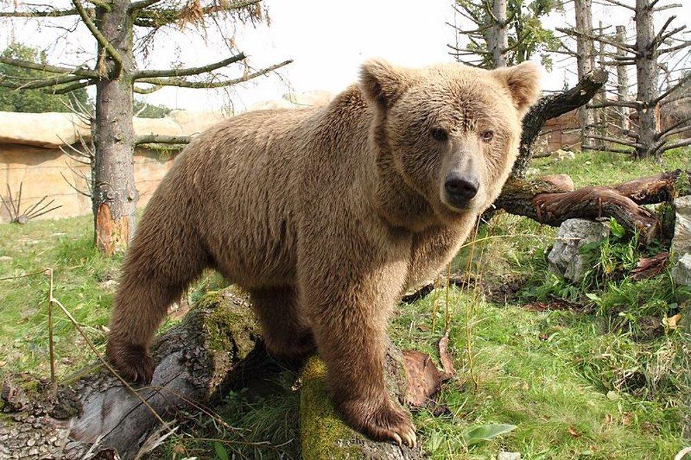 Skutočný yeti  Himalájsky hnedý medveď v Zoo Hluboká. 964a96fc897