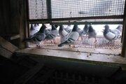 Na tomto koníčkovi sú vraj najkrajšie chvíľky pri sledovaní príletov holubov domov.