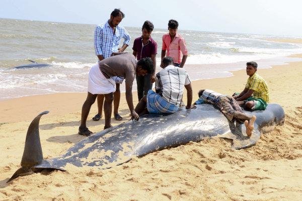 Delfíny uviazli pri pobreží južného indického štátu Tamilnádu.