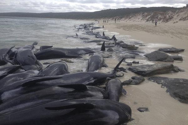 Keď ich objavil rybár, približne polovica veľrýb už nežila.