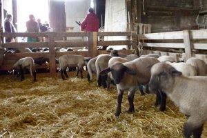 Z družstva v Žemberovciach vyviezli tento rok na taliansky trh do 800 jahniat.
