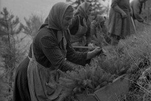 Na archívnej snímke zo 6. novembra 1962 zalesňovanie v Slovenskej Ľupči. Pracovníci Lesného závodu v Slovenskej Ľupči majú v tomto roku zalesniť 780 ha horských plání. Doteraz zalesnili do 600 ha. V polesí Moštenica, kde majú zalesniť 85 ha vysadila lesná skupina sadenice na 70 ha. Teraz sa usilujú splniť úlohu hlavne vo vysokohorských pásmach, aby ich neprekvapil sneh.