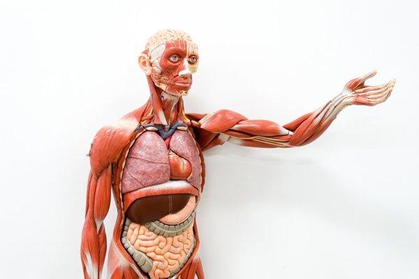 Pečeň je najväčšou žľazou a životne dôležitým orgánom tela.