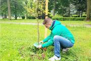 Osádzanie chráničov stromov.