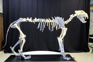 Pôvodných 56 jednotlivých kostí bolo doplnených 27 časťami z nálezu v lokalitách Moravského Krasu.