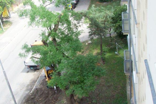 Strom prišiel o dve tretiny koruny a dnes odstraňujú korene, ktoré zasahujú do chodníka.