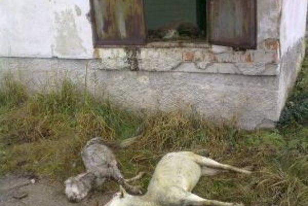 Mŕtve a zomierajúce ovce.
