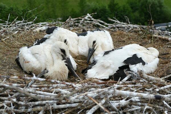 Hniezdo bociana bieleho v obci Mojš pri Žiline.