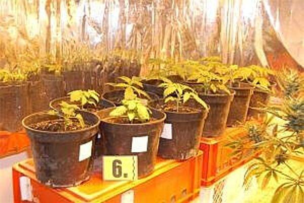 Mnohí pestujú marihuanu v kvetináčoch.