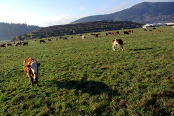 Na miestach, kde sa pasú tieto kravy, má byť rozšírená skládka.