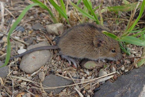 Myšovka horská.