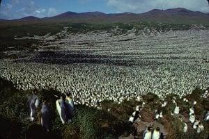 Kolónia tučniakov kráľovských na ostrove Île aux Cochons v roku 1982.