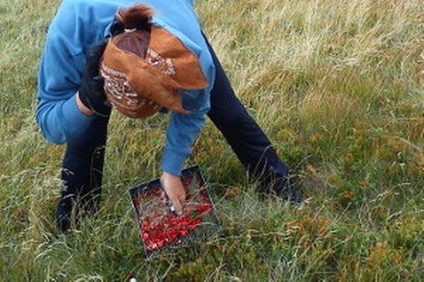 V národnom parku je zakázané zbierať akékoľvek lesné plody.