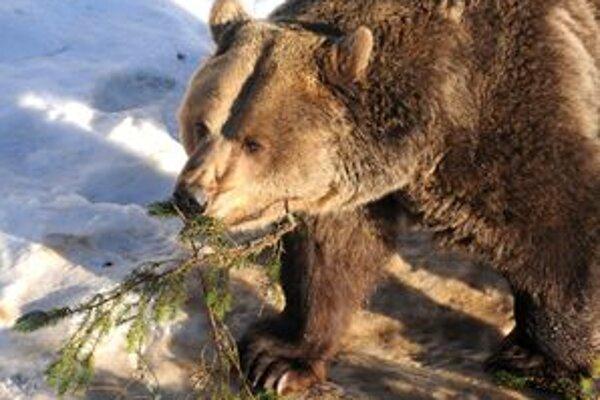Aj oravské medvede sa už prebudili zo zimného spánku.